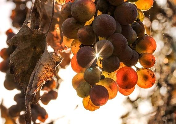El Centro de Investigación Científica y Tecnológca de Extremadura (Cicytex) investiga el impacto positivo del riego en los vinos con uva Macabeo