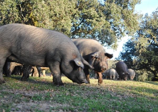 El nuevo proyecto Estriber abordará de forma integral la producción de porcino ibérico en Extremadura.