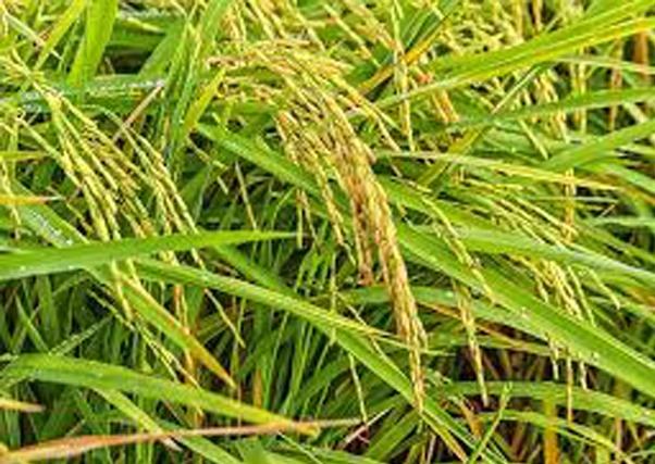 Extremadura pierde más de 4.000 has. de cultivo de arroz por los bajos precios y los altos costes.