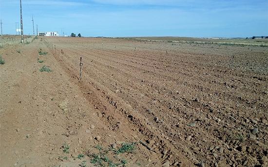 Riego por aspersión en plantación de aromáticas, Elvas (Portugal)
