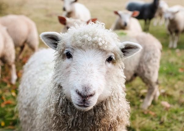 A Junta de Extremadura paga 24 milhões em ajuda às ovelhas.