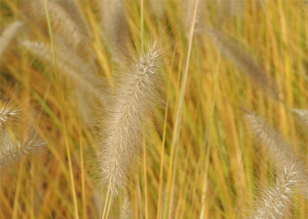 Malas previsiones para la cosecha de cereal en Extremadura