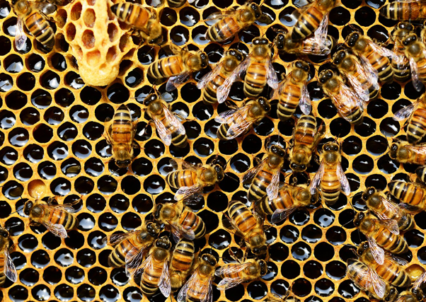 abejas.png