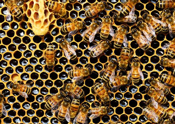 Cae un 80 % la producción de miel clara en Extremadura debido a la falta de lluvias.