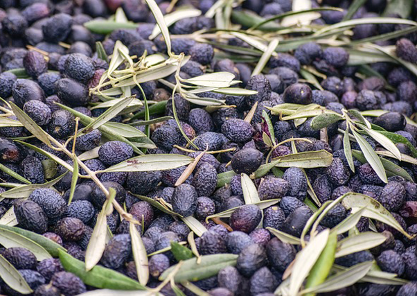 El riego, elemento clave del desarrollo de los olivares en Monterrubio de la Serena