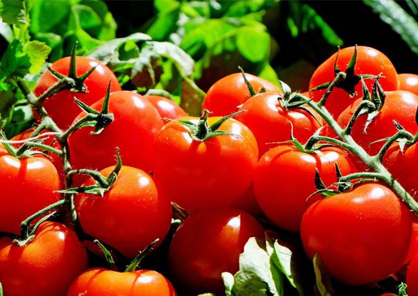 24.000 hectáreas de tomate para esta temporada, ya en siembra en Extremadura.