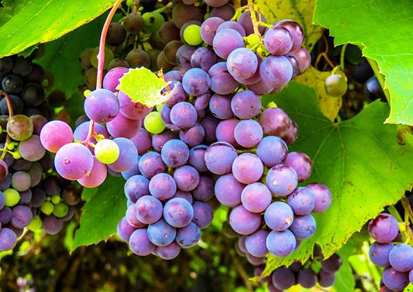 Extremadura, segunda região da Espanha na produção de uvas para vinho e mosto.