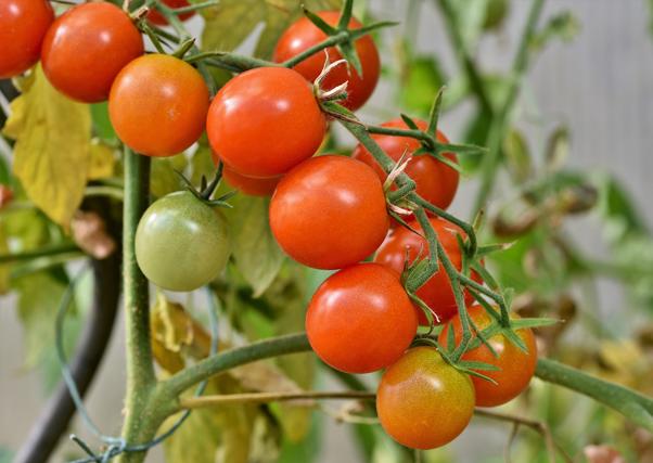Las importaciones de tomate marroquí, una amenaza para la producción europea.